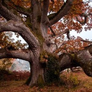 The King Oak